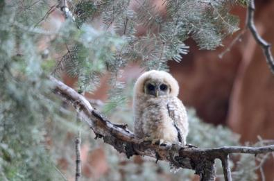A baby owl in Zion National Park. Tweeted by the US Department of the Interior, 6/12/14.