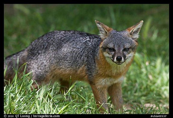 Island fox (Urocyon littoralis santacruzae), Santa Cruz Island. Photo courtesy of Terra Galleria. www.terragalleria.com.