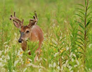 """White-tailed deer in Cades Cove in the Great Smoky Mountains National Park. Males shed and regrow their antlers every year. By late summer, their antlers will be fully developed in preparation for fighting during the fall mating season, or """"rut."""" Their antlers are covered in velvet now. Photo by Samuel Hobbs. From the Park's Facebook page."""