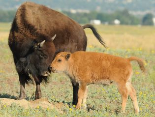 Photographer Rich Keen captured a tender moment between a bison & calf at the Rocky Mountain Arsenal National Wildlife Refuge. Located just northeast of Denver, the Rocky Mountain Arsenal NWR is a 15,000-acre expanse of prairie, wetland and woodland habitat. The land has a unique story - it transitioned from farmland, to war-time manufacturing site, to wildlife sanctuary.