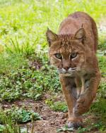 A normally elusive bobcat. Photographed in Shenandoah National Park, and tweeted by the US Department of the Interior, 8/8/14.
