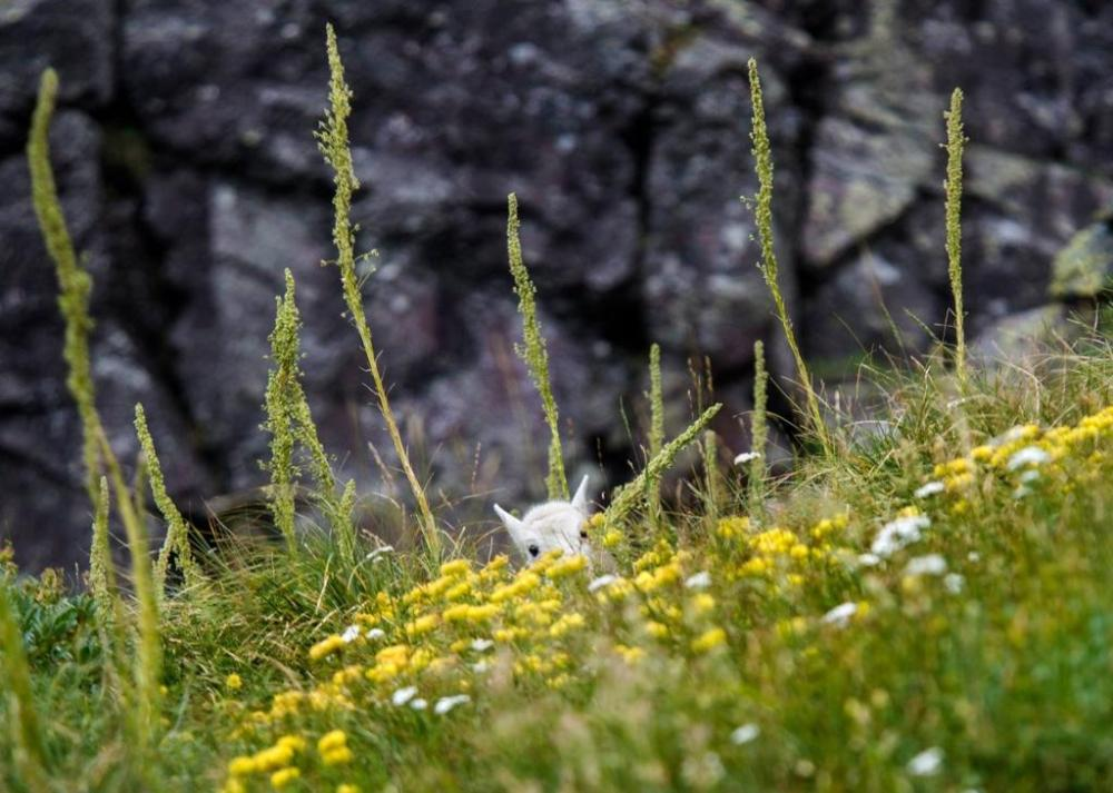 Baby mountain goat hiding in the flowers. Tweeted by the US Department of the Interior on 9/29/14.