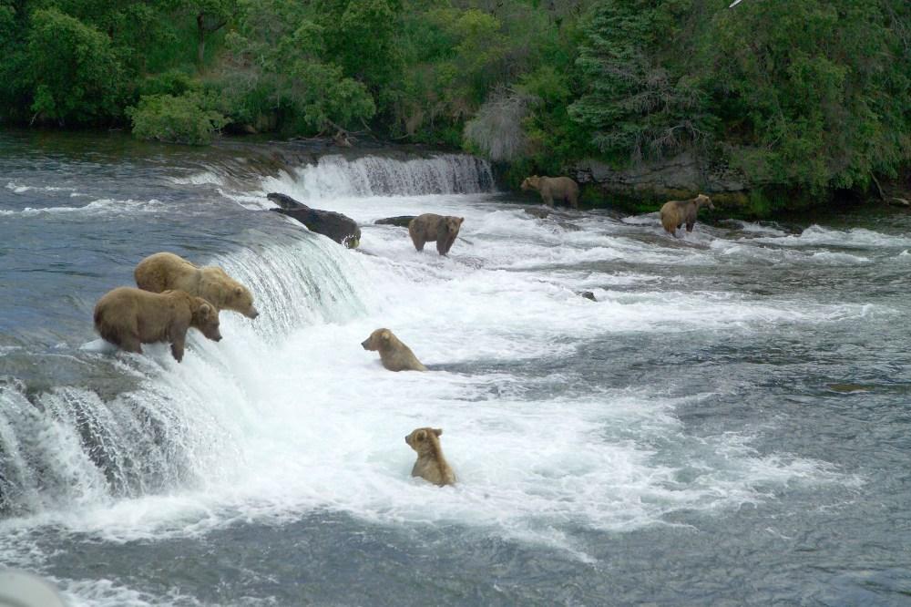 The bears of Katmai National Park. From the Park's website.