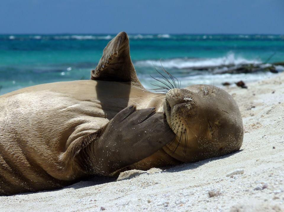 Hawaiian Monk Seal. Tweeted by the US Department of the Interior, 10/5/14.