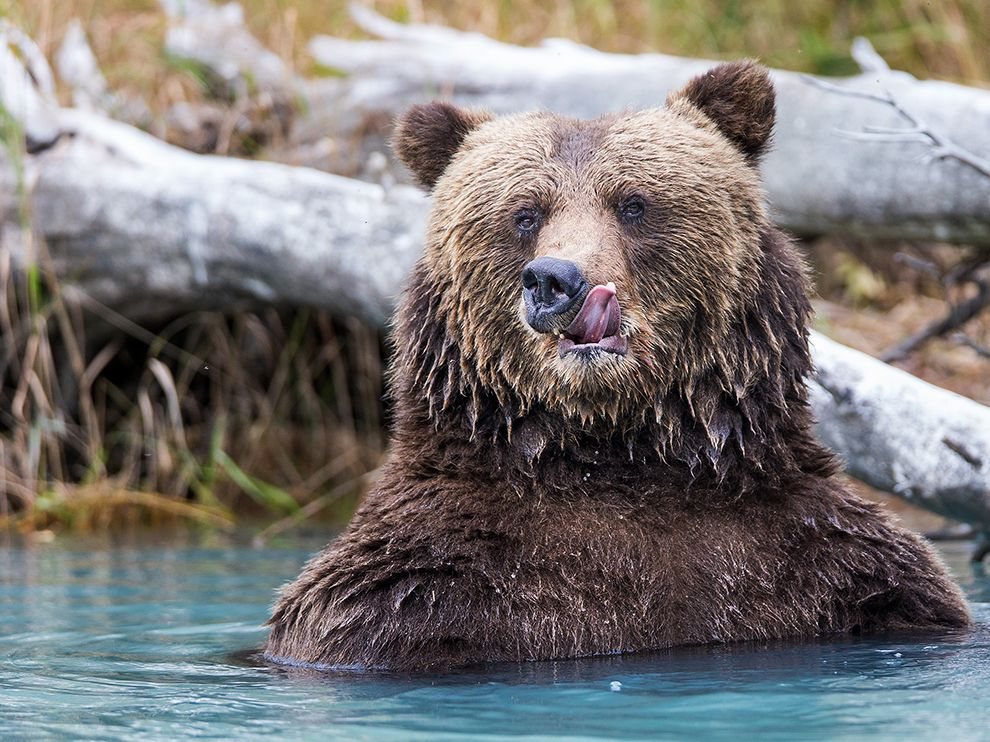 "While on a boat ride on Crescent Lake in Lake Clark National Park, Rob Daugherty captured this stunning image of a coastal brown bear that had just finished eating salmon. ""It was an epic moment to photograph him as he licked his fishy, post-meal chops,"" says Rob. Posted on Tumblr by the US Department of the Interior, 11/26/14."