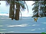 Yosemite NP 31 – Red Fox