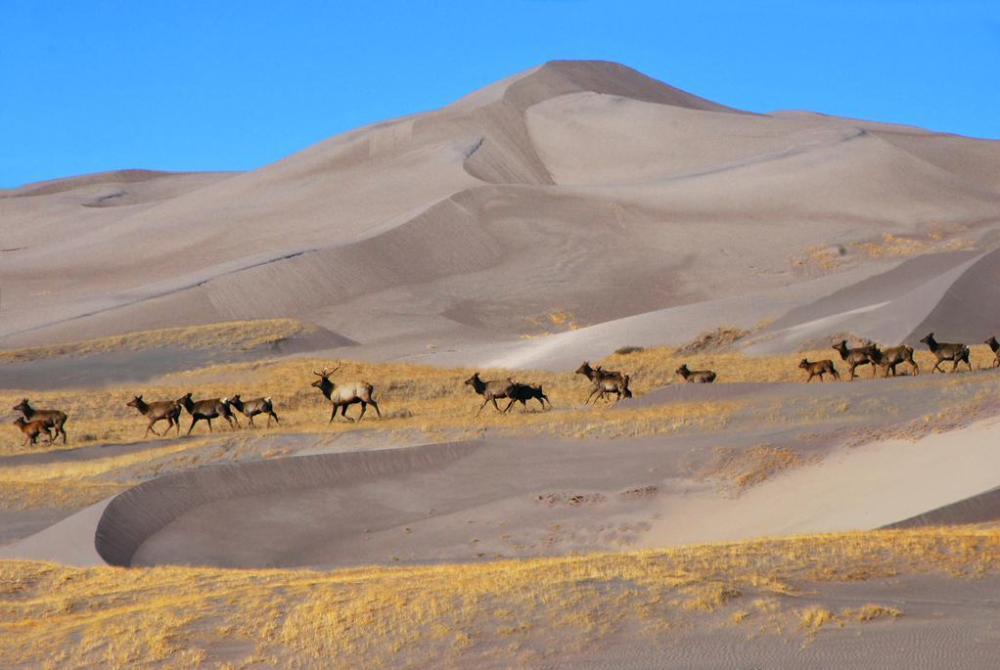 Here's a rare sight: A herd of elk crossing the dunes at Great Sand Dunes National Park. Tweeted by the US Department of the Interior, 3/11/15.