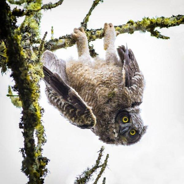 Baby owl at Ridgefield  National Wildlife Refuge. Photo by Dennis Davenport. Posted  on Tumblr by the US Department of the Interior, 2/25/15.