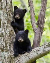 Two bear cubs at Delaware Water Gap Recreation Area. Tweeted by the US Department of the Interior, 3/3/15.
