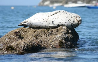 Harbor Seal from California Coastal National Monument. Posted on Tumblr by the US Department of the Interior, 3/3/15.