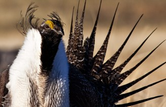 Sage grouse in California. Photo by Bob Wick, BLM. Posted on Tumblr by the US Department of the Interior, 3/3/15.
