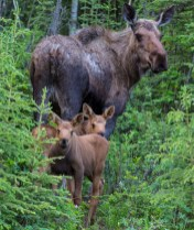Moose family in Alaska. Photo by Bob Wick, BLM. Posted on Tumblr by the US Department of the Interior, 3/3/15.