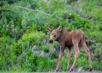 Baby moose in Alaska. Photo by Bob Wicks. Posted on Tumblr by the US Department of the Interior, 4/22/15.