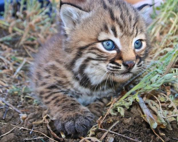 Santa Monica Mountains - Baby Bobcat 1
