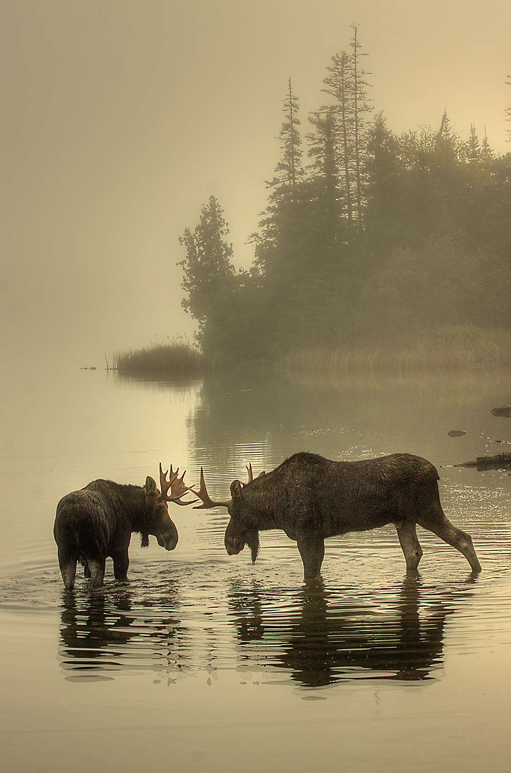 Two young bull moose test each other at Isle Royale National Park in Michigan. This photo was taken in Tobin Harbor as the moose locked horns. Photo by Carl TerHaar. Posted on Tumblr by the US Department of the Interior, 5/15/15.