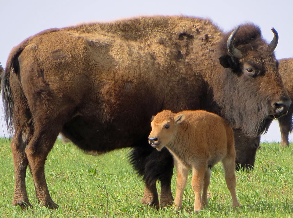 Here's a cute pic of one of the new bison calves at Iowa's Neal Smith National Wildlife Refuge. Tweeted by the US Department of the Interior, 5/7/15.