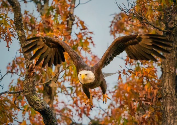 An eagle flies from its nest at Shiloh National Military Park in Tennessee. Photo by Don Holland. Posted on Tumblr by the US Department of the Interior, 6/21/15.