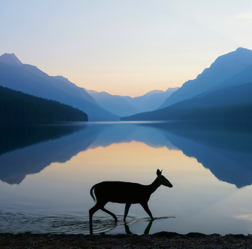 "A beautiful photo of first light at Glacier National Park in Montana. Of the image, photographer Kevin LeFevre says: ""While shooting the sunrise at Bowman Lake, we were graced with this meandering doe. I scrambled to change my camera settings to accommodate the movement and pulled off this solitary photo. A once in a lifetime."" While parts of Glacier are closed because of ‪‎Reynolds Creek Fire‬, most of the park remains open, including Bowman Lake area. Photo courtesy of Kevin LeFevre. Posted on Tumblr by the US Department of the Interior, 7/28/15."