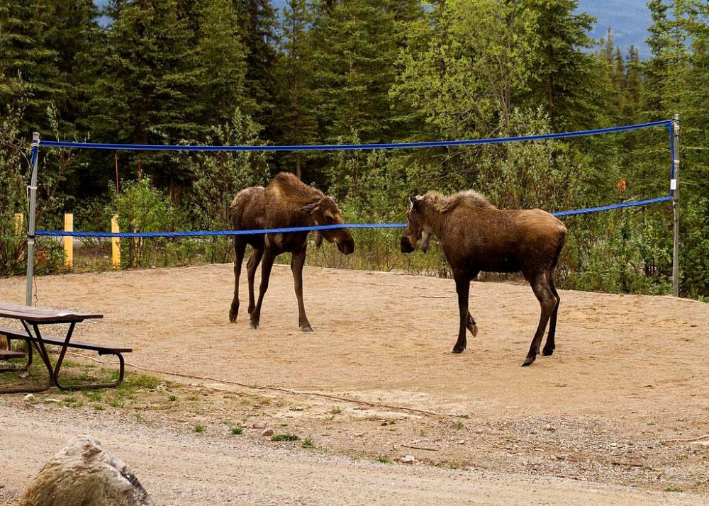 Two moose take over a volleyball court in Denali National Park - and who would tell them no? Tweeted by the US Department of the Interior, 8/7/15.