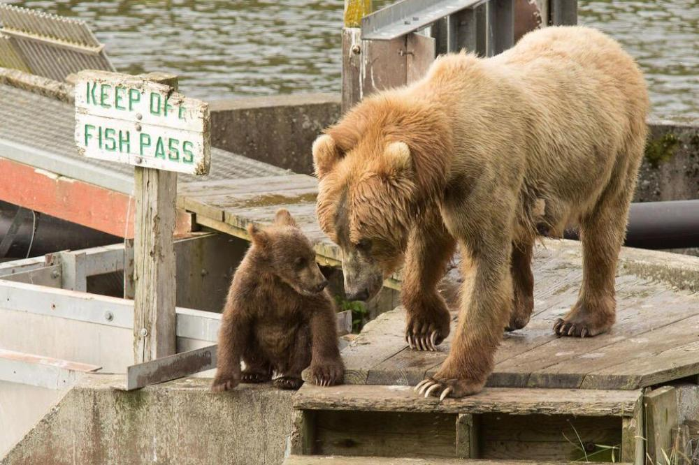 Bears just don't follow the rules at Kodiak National Wildlife Refuge. Tweeted by the US Department of the Interior, 9/17/15.