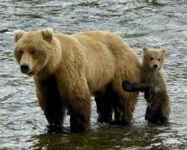 Mom & cub, captured on a bearcam in Katmai National Park. Tweeted by the US Department of the Interior, 10/7/15.