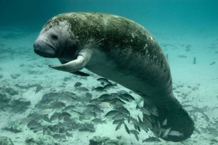 A manatee in Crystal Rivers National Wildlife Refuge. Tweeted by the US Department of the Interior, 11/3/15.