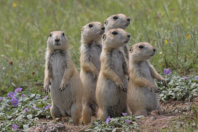 Prairie dogs at Oklahoma's Wichita Mountains National Wildlife Refuge. Photo by Larry Smith. Tweeted by the US Department of the Interior, 10/26/15.