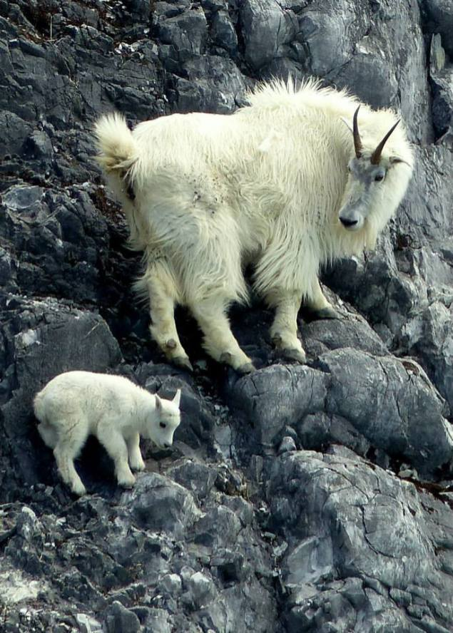 Here's some serious cute: A mountain goat nanny and kid at Glacier Bay National Park in Alaska. Mountain goats are not true goats at all but belong to the antelope family. The hooves of mountain goats consist of two toes that can move independently from each other, allowing for its stunning agility on steep terrain. Photo by Richard Nelson, National Park Service. Posted on Tumblr by the US Department of the Interior, 12/20/15.