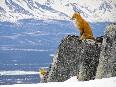 Two red foxes in the Lake Clark National Park & Preserve in Alaska. Posted on Tumblr by the US Department of the Interior, 2/3/16.