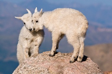 Life is better with friends – and it looks like these two baby mountain goats agree. Photo by Eivor Kuchta. Posted on Tumblr by the US Department of the Interior, 2/4/16.