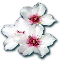 Almond-flowersSmall