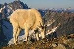Cascades NP 34 – Mountain Goat
