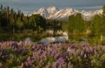 Lupine and the Grand Tetons – Grand Teton National Park, Wyoming