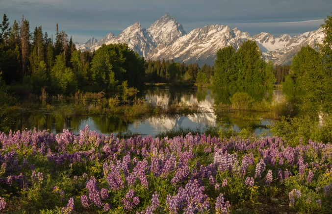 Lupine and the Grand Tetons in spring. Grand Teton National Park, Wyoming. Photo by Jon LeVasseur. Posted on Tumblr by the US Department of the Interior, 3/20/16.