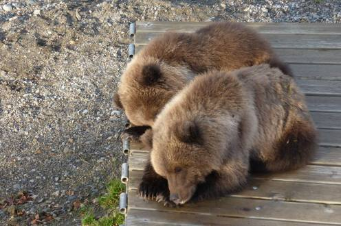 Sleeping bear cubs at Alaska's Katmai National Park. From the Park's Facebook page.
