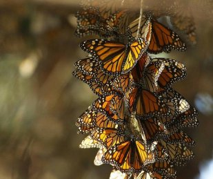 Monarch butterflies. Tweeted by the US Department of the Interior, 3/30/16.