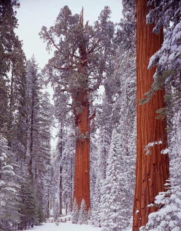 General Sherman giant sequoia tree, SEQUOIADENDRON GIGANTEUM; largest tree in world in volume, In the heart of California's Sierra Nevada is one of the most awe-inspiring sights: The giant sequoia groves in Sequoia and Kings Canyon National Parks. These towering trees are some of the world's largest (by volume). They are as tall as an average 26-story building, and their bases can exceed the width of many city streets. Photo by Ed Cooper. Posted on Tumblr by the US Department of the Interior, 2/21/16.