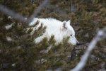 Yellowstone NP 40 – white wolf