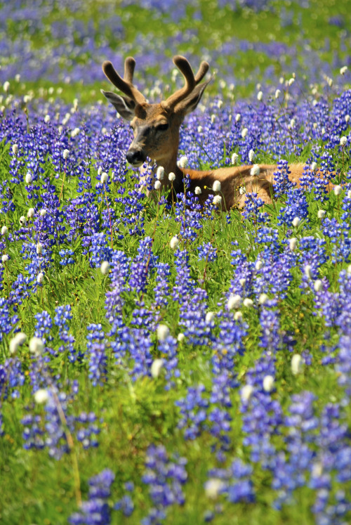 This blacktail deer knows how to enjoy the wildflowers in Olympic National Park in Washington. Find a meadow covered in flowering purple lupines and settle in for a relaxing afternoon. Is there anything more peaceful than this? Photo by Jim Tobalski. Posted on Tumblr by the US Department of the Interior, 5/12/16.