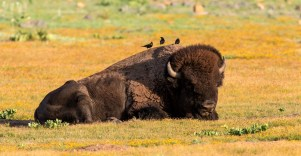 A resting bison at Wichita Mountains National Wildlife Refuge. In 1907, the American Bison Society and the New York Zoological Society donated 15 bison to the Wichita Mountains National Wildlife Refuge in Oklahoma. Today the refuge's herd includes an estimated 650 bison. Photo by Nils Axelsen. From the Department of the Interior blog, published 5/9/16.
