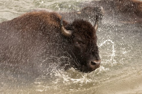 A bison charging through a river at Yellowstone National Park. Photo by Donald Higgs. From the Department of the Interior blog, published 5/9/16.