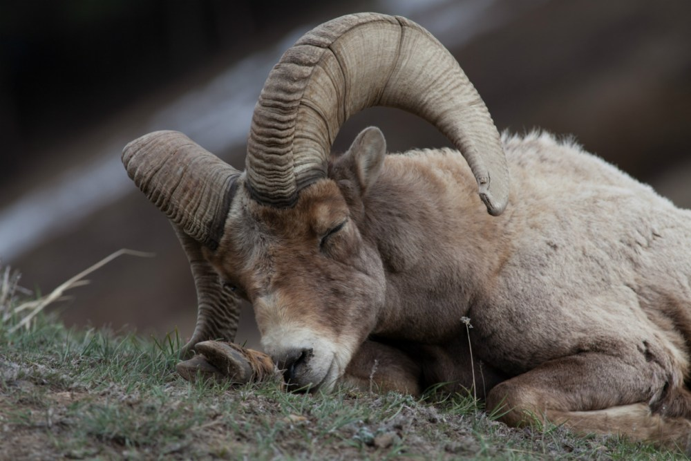 Bighorn sheep are famously elusive and quick to avoid human contact, so this photo of a napping ram at Yellowstone National Park in Wyoming is a special find. Photo by Bill Cochran. Posted on Tumblr by the US Department of the Interior, 5/28/16.