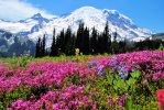 Mt Rainier NP 35 – flowers