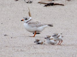 Piping plovers on the beach at Parker River National Wildlife Refuge in Massachusetts. Photo by Kaiti Titherinton, U.S. Fish and Wildlife Service. Blogged by Department of the Interior.