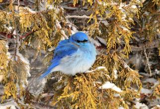 This mountain bluebird rides the storm out. Stay warm friends! Photo: Tom Koerner/USFWS. Tweeted by the US Department of the Interior, 11/25/16.