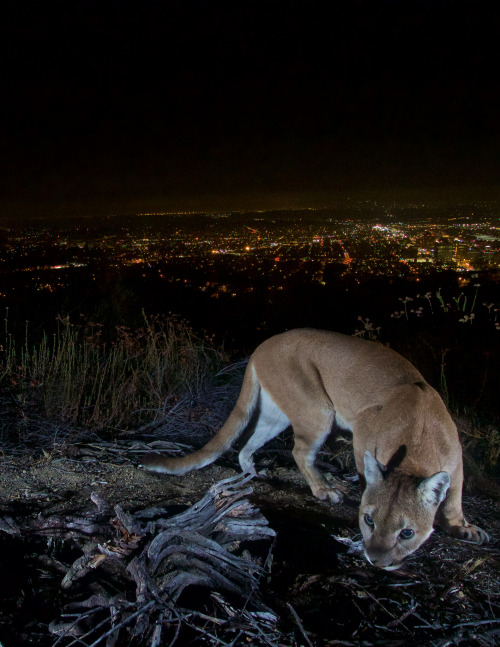 Partly within the Los Angeles city limits, Santa Monica Mountains National Recreation Area in California is home to a small population of mountain lions. National Park Service researchers have monitored more than 50 mountain lions in the park since 2002. Roaming freely, these big cats face unique challenges living so closely to urban areas. Photo by National Park Service. Posted on Tumblr by the US Department of the Interior, 11/23/16.