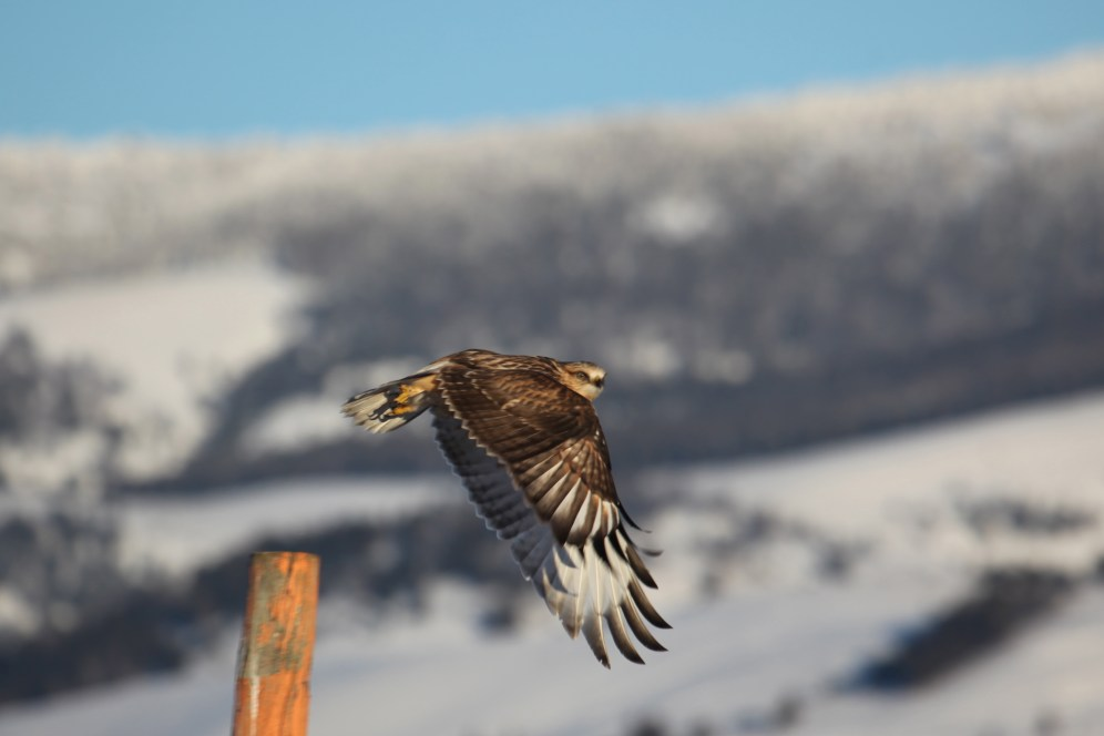 Rough-legged hawks can frequently be seen on fenceposts along the National Elk Refuge's western boundary, paralleling the highway. Here, one takes flight for a new destination. Photo by USFWS/Kari Cieszkiewic, National Elk Refuge seasonal winter naturalist. Posted on Flickr by the US Fish & Wildlife Service, 1/5/17.