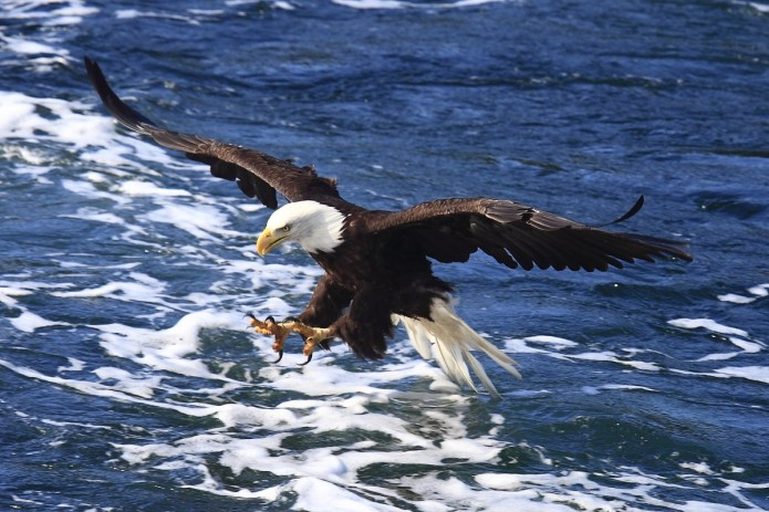 Bald eagle in flight at Glacier Bay National Park and Preserve in Alaska. Photo by Bert van Mackelenbergh. From the US Department of the Interior blog, 10/12/16.