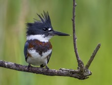 Belted kingfisher at Bombay Hook National Wildlife Refuge in Delaware. Photo by Dee Langevin. From the US Department of the Interior blog, 10/12/16.