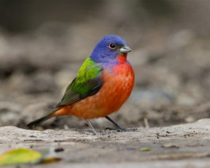 Painted bunting standing on the forest floor at Laguna Atascosa National Wildlife Refuge in Texas. Photo by Steve Sinclair. From the US Department of the Interior blog, 10/12/16.